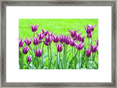 Tulip Maytime Framed Print by Tim Gainey