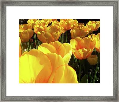 Tulip Framed Print by Ramon Labusch