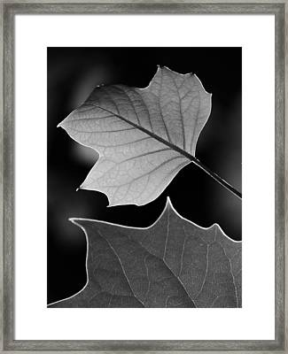 Tulip Tree Leaves Competing For Light Framed Print by Jane Ford