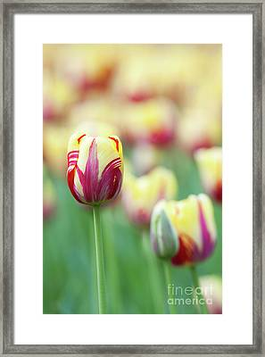 Tulip World Expression Framed Print by Tim Gainey