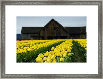 Tulips And A Barn Framed Print by Pelo Blanco Photo