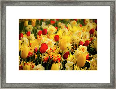 Tulips And Daffodils Framed Print by Tamyra Ayles
