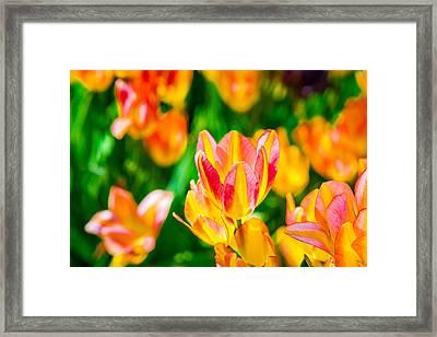 Tulips Enchanting 18 Framed Print by Alexander Senin