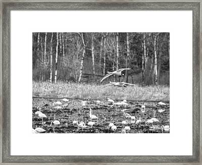Tundra Swans 2016-1 Framed Print by Thomas Young