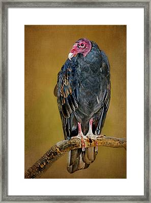 Turkey Vulture Framed Print by Nikolyn McDonald