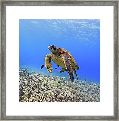 Turtle Framed Print by Chris Stankis