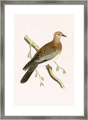 Turtle Dove Framed Print by English School