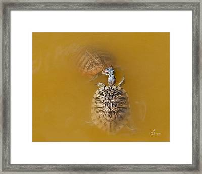 Turtle Kiss Framed Print by Sally Mitchell