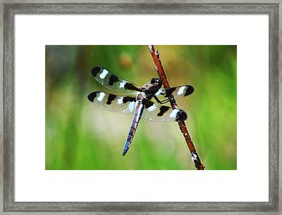 Framed Print featuring the photograph Twelve Spotted Skimmer by Rodney Campbell