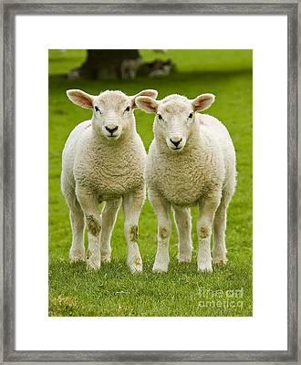 Twin Lambs Framed Print by Meirion Matthias