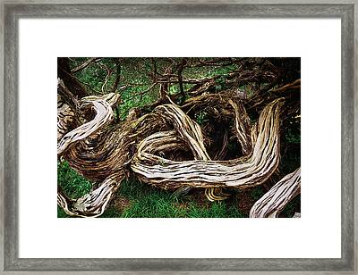 Twisted Old Tree Framed Print by Garry Gay