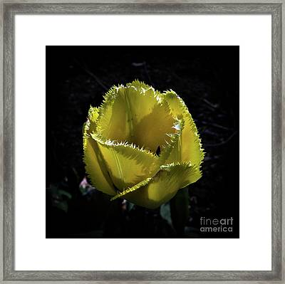 Twisted Tulip Framed Print by Skip Willits