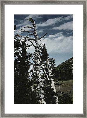 Twisted Whitebark Pine Tree - Crater Lake - Oregon Framed Print by Christine Till