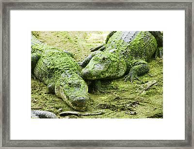 Two Alligators Framed Print by Garry Gay
