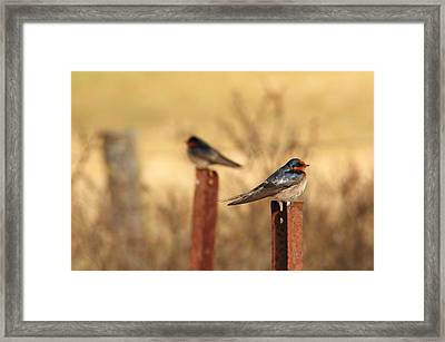 Two Birds - Welcome Swallows Framed Print by Virginia Halford