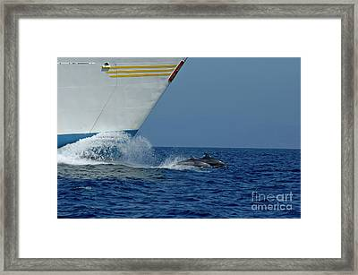 Two Bottlenose Dolphins Swimming In Front Of A Ship Framed Print by Sami Sarkis