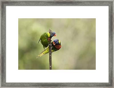 Two Captive Rainbow Lorikeets Framed Print by Tim Laman