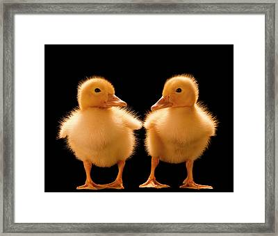 Two Ducklings Looking At One Another Framed Print by Don Farrall