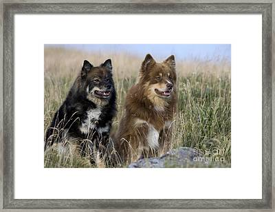 Two Finnish Lapphunds Framed Print by Jean-Louis Klein & Marie-Luce Hubert