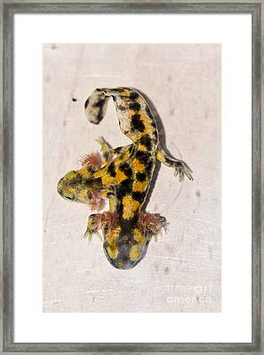 Two-headed Near Eastern Fire Salamande Framed Print by Shay Levy