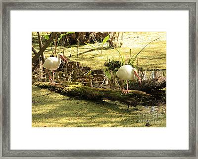 Two Ibises On A Log Framed Print by Carol Groenen