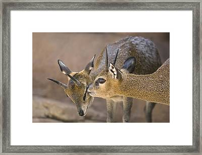 Two Klipspringers At The Henry Doorly Framed Print by Joel Sartore