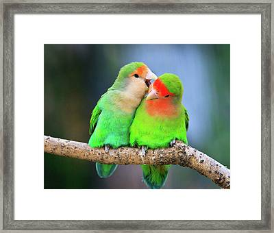 Two Peace-faced Lovebird Framed Print by Feng Wei Photography