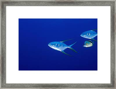 Two Pompano Fish And A Cleaner Fish Framed Print by James Forte