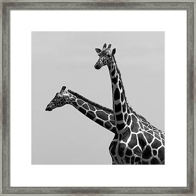 Two Reticulated Giraffes Framed Print by Achim Mittler, Frankfurt am Main