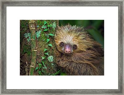 Two-toed Sloth Choloepus Didactylus Framed Print by Panoramic Images