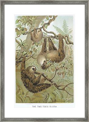 Two-toed Sloth Framed Print by Granger