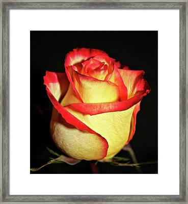 Two Tone Rose Framed Print by Cathie Tyler