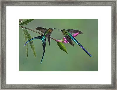 Two Violet-tailed Sylphs In Ecuador Framed Print by Juan Carlos Vindas