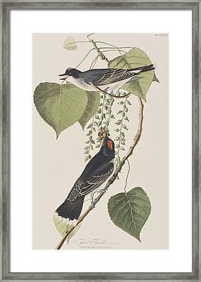Tyrant Fly Catcher Framed Print by John James Audubon