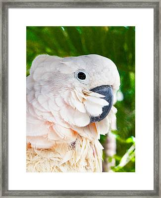 Umbrella Cockatoo Framed Print by Bob Slitzan