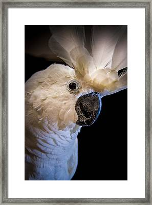 Umbrella Cockatoo Fan Framed Print by Bonnie Marquette