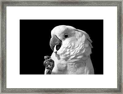 Umbrella Cockatoo Framed Print by Jennifer A Garcia