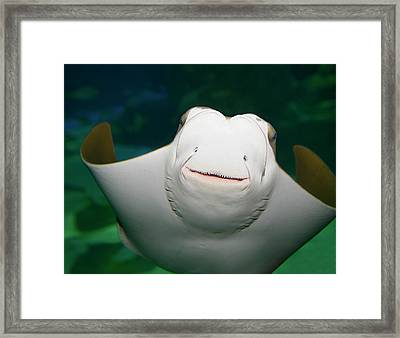 Underside And Face Of A Smiling Stingray In An Aquarium Framed Print by Reimar Gaertner