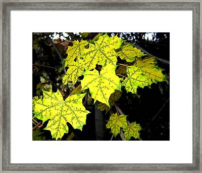 Unique Fall Maple Leaves Framed Print by Will Borden