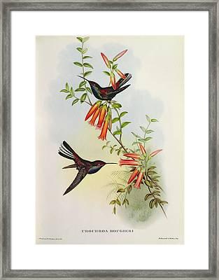 Urochroa Bougieri Framed Print by John Gould