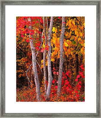Usa, Maine, Autumn Maple Trees Framed Print by Panoramic Images