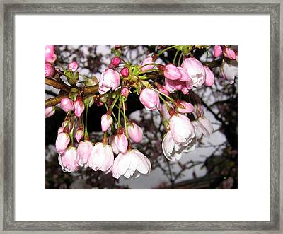 Vancouver Cherry Blossoms Framed Print by Will Borden