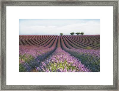 Velours De Lavender Framed Print by Margarita Chernilova