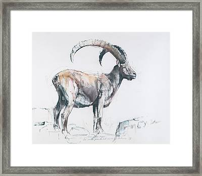 Venerando Stambecco Framed Print by Mark Adlington