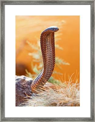 Venomous Cobra On Rock Framed Print by Susan Schmitz