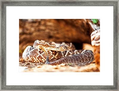 Venomous South American Rattlesnake By Rock Framed Print by Susan Schmitz
