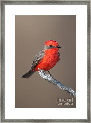 Vermilion Flycatcher Framed Print by Clarence Holmes