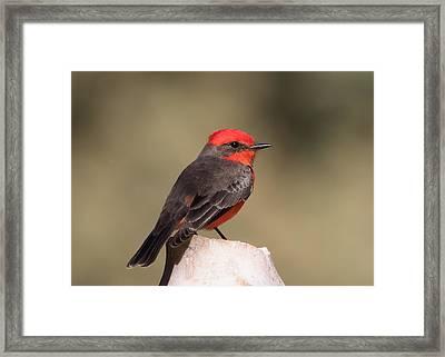 Vermilion Flycatcher In Northern California Framed Print by Kathleen Bishop