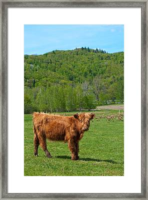 Vermont Cow Framed Print by Mandy Wiltse