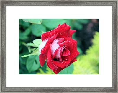Very Dewy Rose Framed Print by Kristin Elmquist